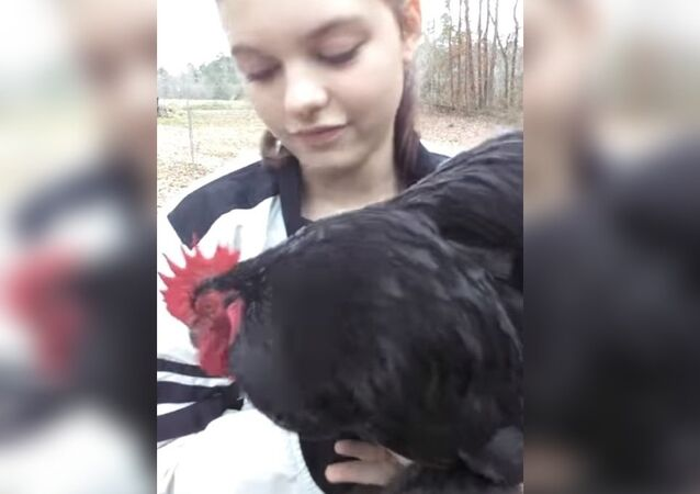 Frog The Rooster-Savannah is home!