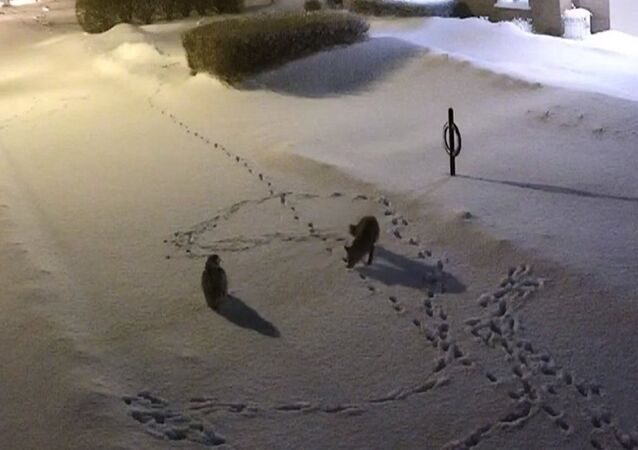 Owl vs. fox in unlikely match in the middle of a winter night