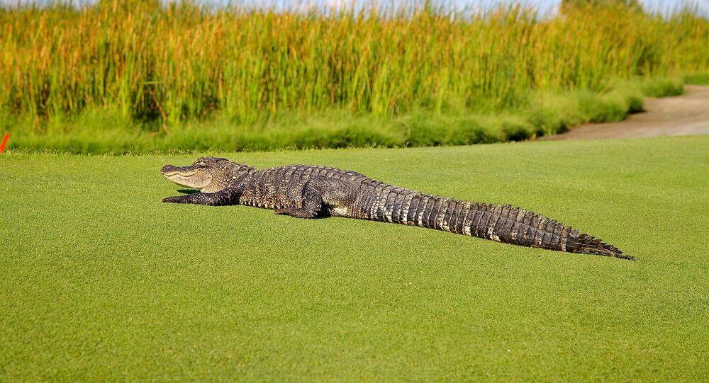 Un alligator (image d'illustration)