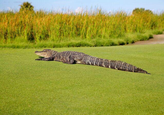 Un alligator sur un terrain de golf
