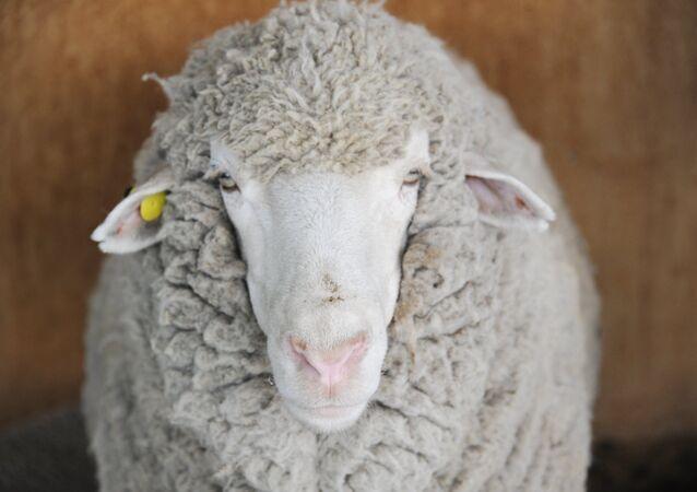 Un mouton, image d'illustration