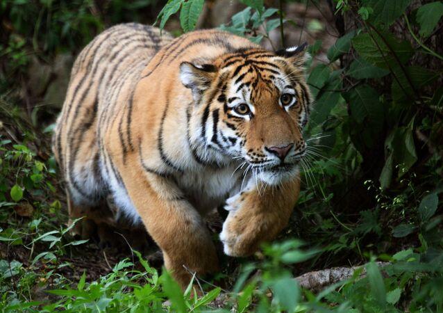 Le tigre de l'Amour Sherkhan