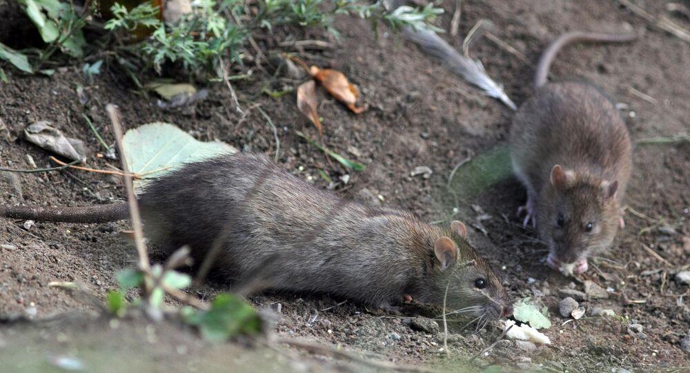 Des rats (image d'illustration)