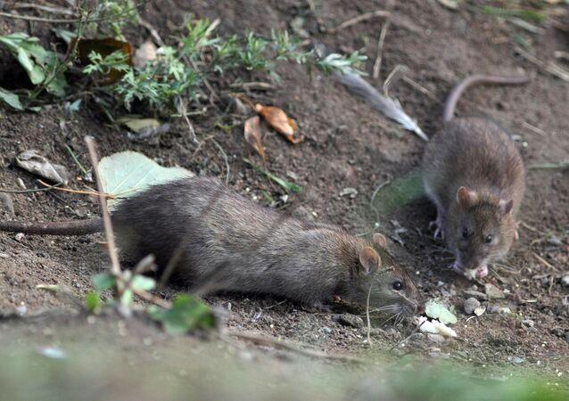 Des rats