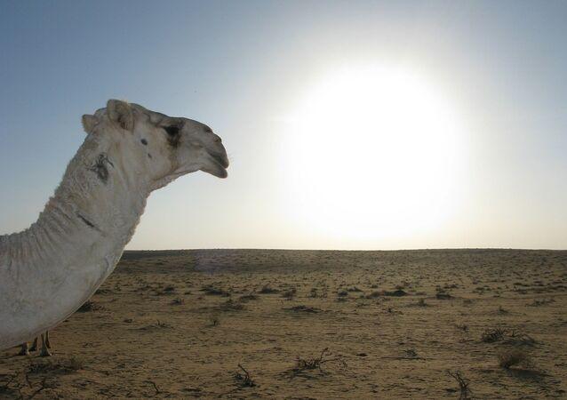 Un chameau dans le désert saoudien. Image d'illustration