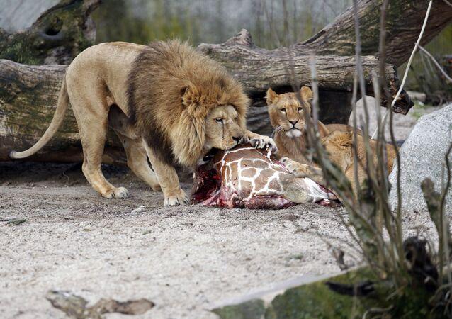 Une girafe survit à un crocodile mais est mangée par des lions