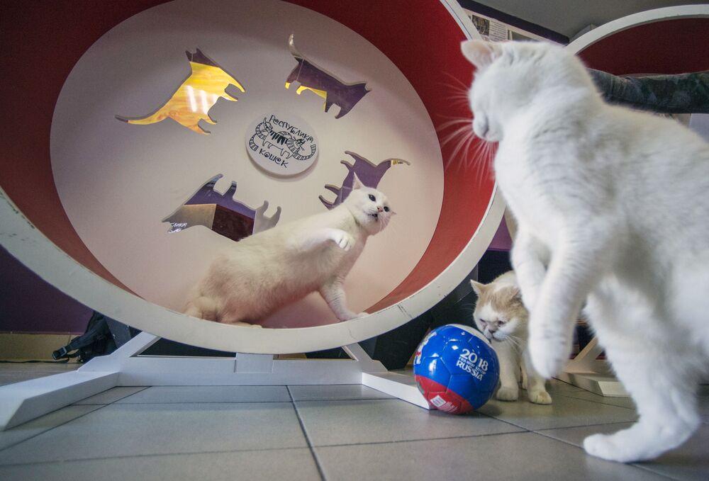 L'oracle blanc comme neige: le chat Achille se prépare à la Coupe du monde de football
