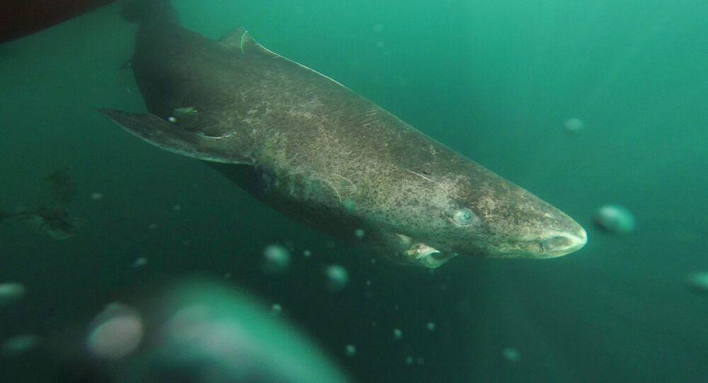 un requin du Groenland