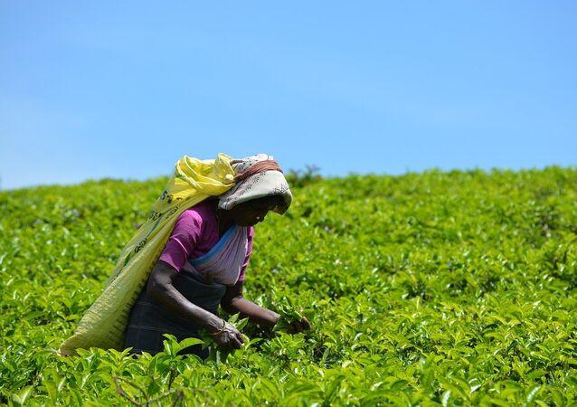 Une plantation de thé