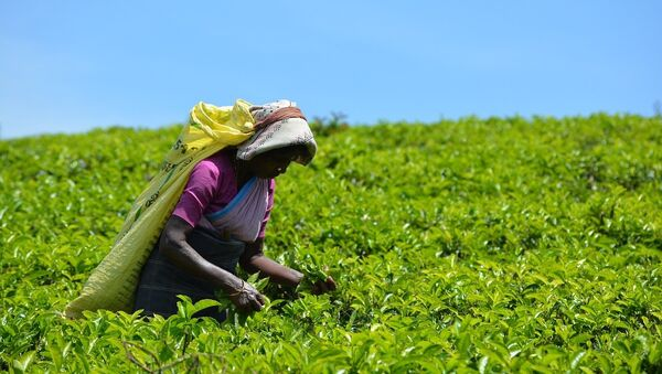 Une plantation de thé - Sputnik France