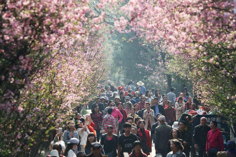 La floraison précoce du cerisier au Japon et en Chine
