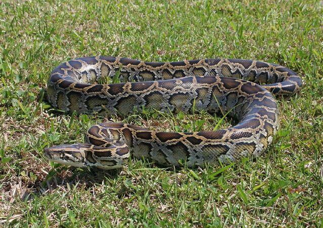 Python molure