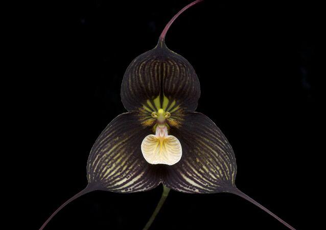L'orchidée Dracula vampira