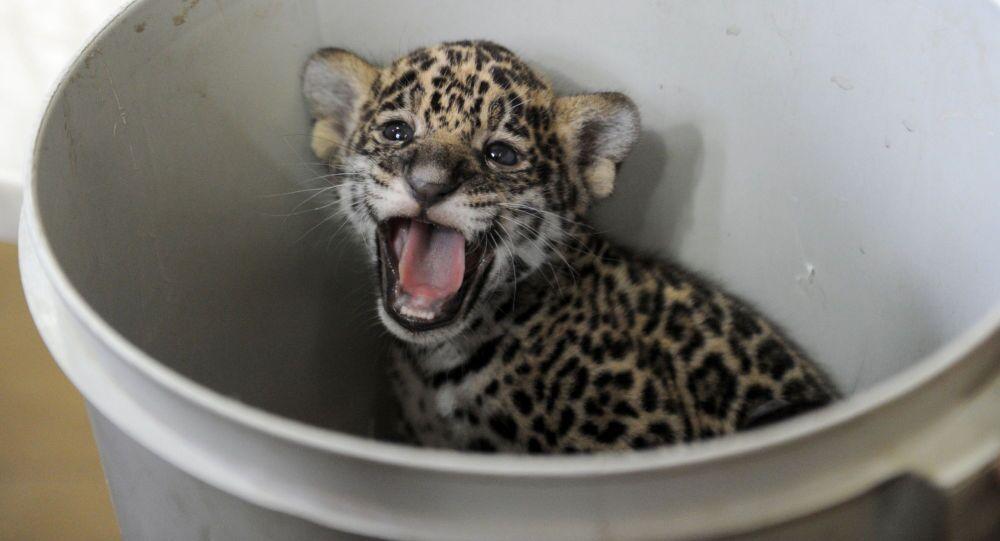 Un bébé jaguar