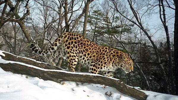 Un léopard de l'Extrême-Orient - Sputnik France