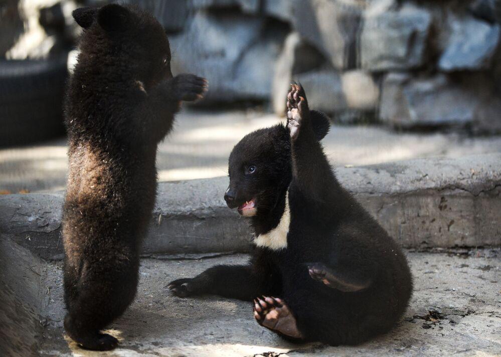 Premier printemps pour les oursons à collier