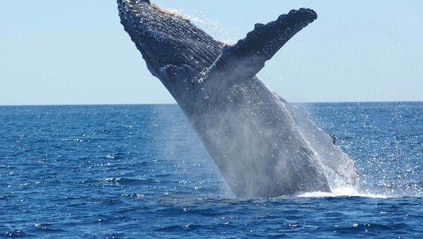 Une baleine à bosse  - Sputnik France