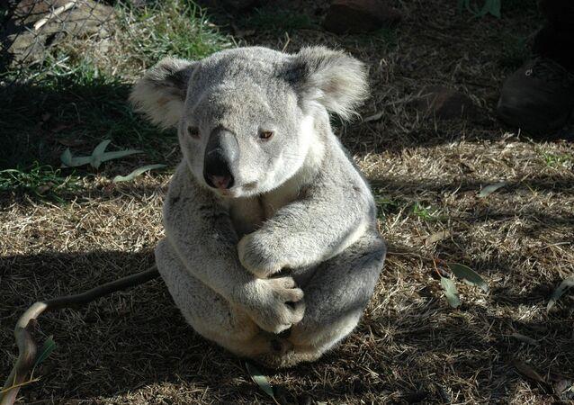 Un koala (image d'illustration)