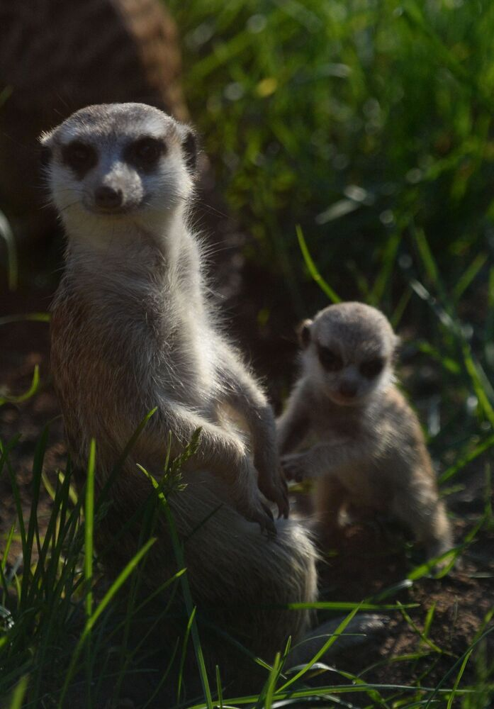 Un suricate et une chèvre du Caucase oriental sont nés au Zoo de Moscou