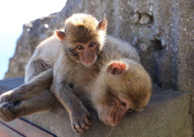Les macaques
