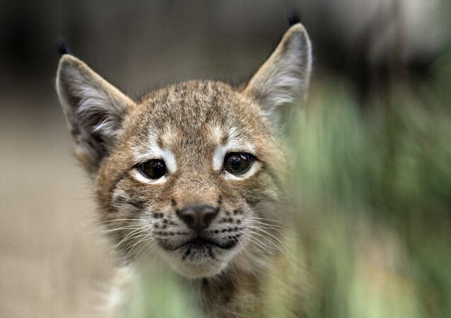 Un petit lynx (photo d'illustration)