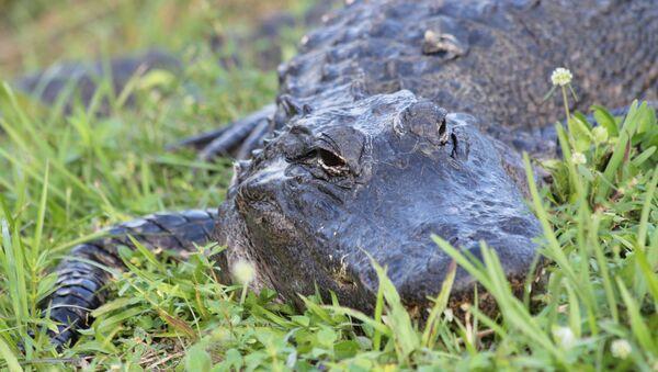 Alligator (Symbolbild) - Sputnik France