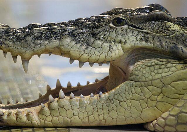 Un alligator