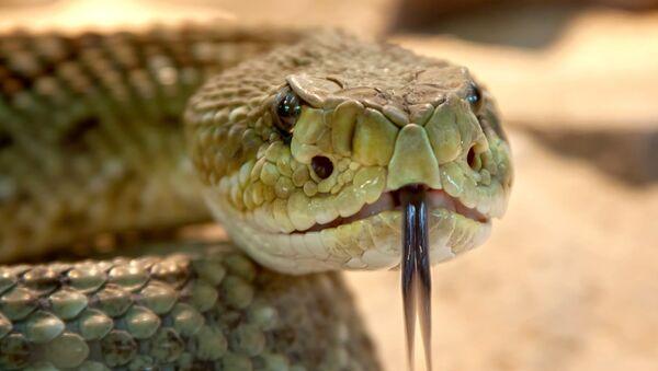 serpent à sonnette - Sputnik France