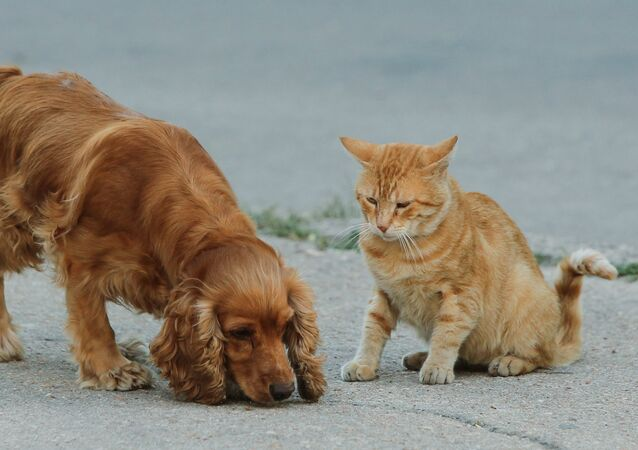 Un cocker spaniel et un chat roux (image d'illustration)