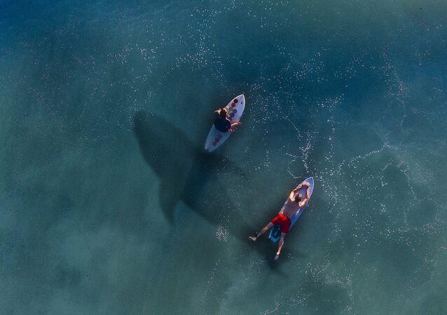 Un requin et des surfeurs (image d'illustration)