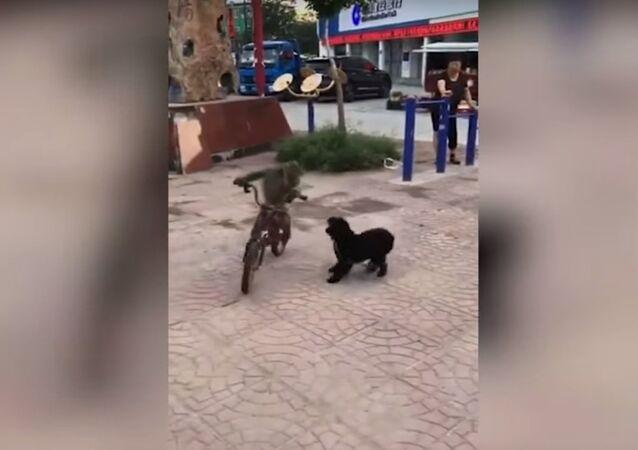 Qui est le plus rapide, un chien ou un singe… à vélo?