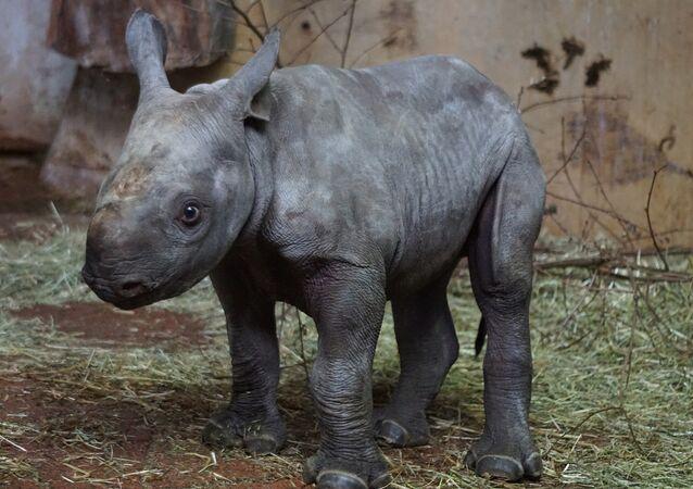 Un rhinocéros noir