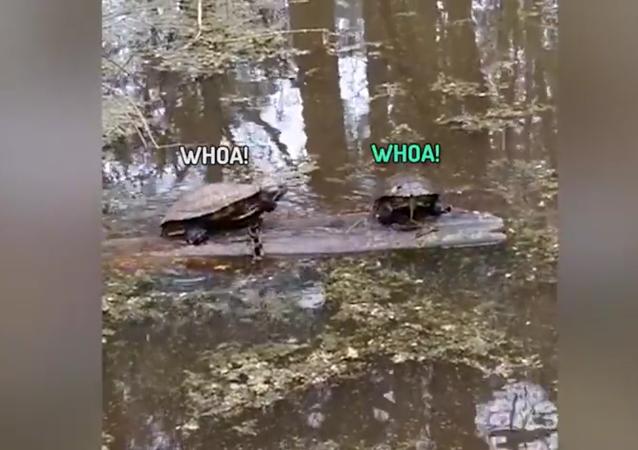 «Ce rondin est à moi!»: une bataille de tortues pour un rondin à l'issue inattendue