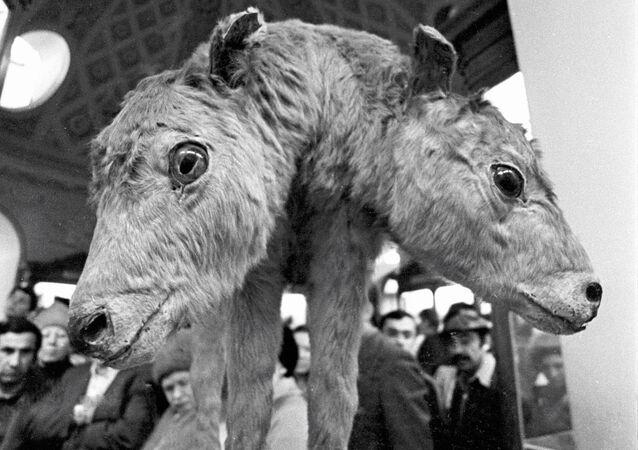 Un veau à deux têtes (archives)