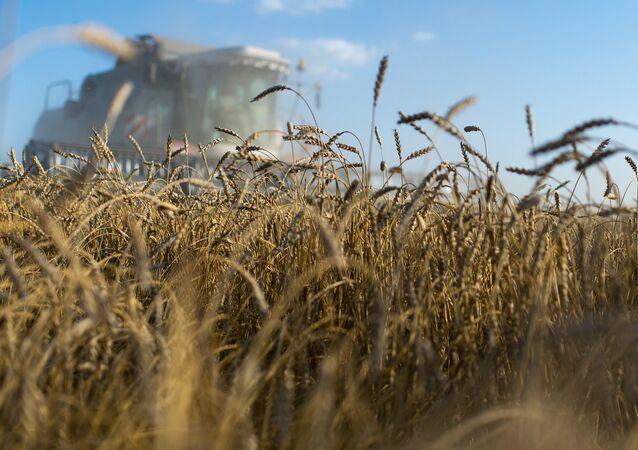 Le blé de la Sibérie