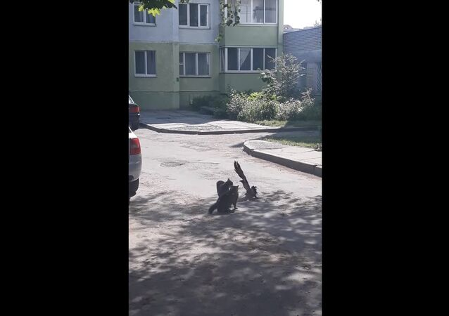 Courageous Crow Tries to Stop Feud Between Two Cats || Viralhog