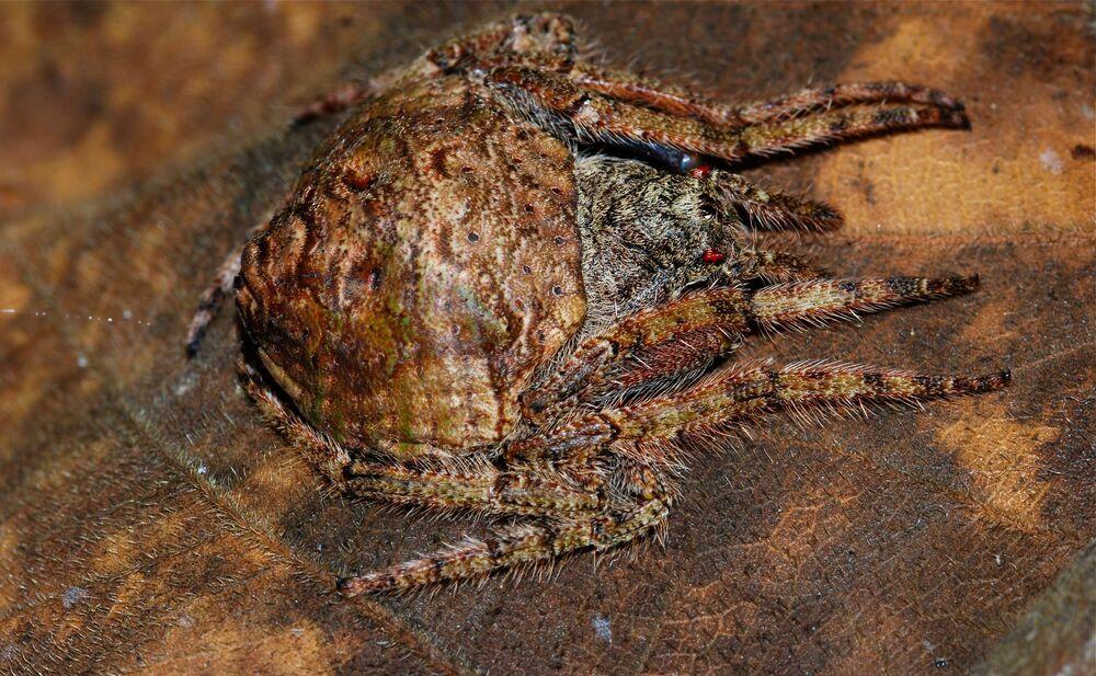L'araignée Dolophones conifera
