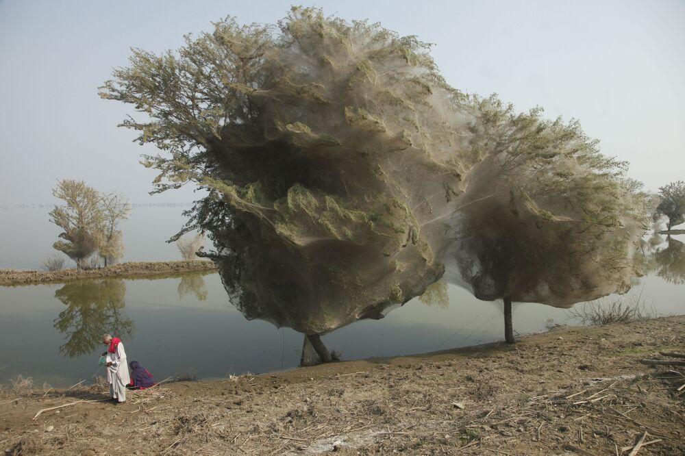 Des arbres couverts de toiles d'araignée au Pakistan