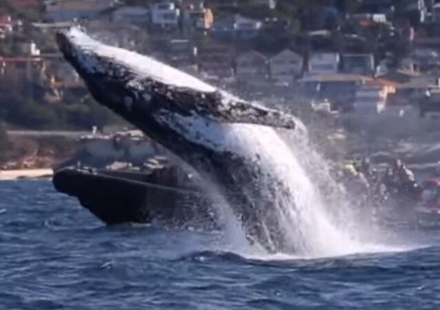 L'énorme saut d'une baleine tout près d'un bateau étonne les touristes