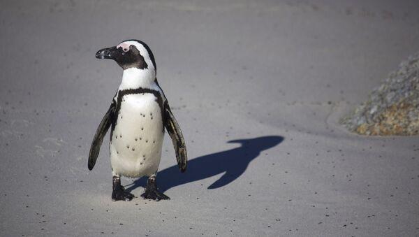 Un pingouin - Sputnik France