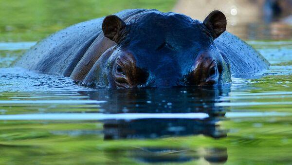 Un hippopotame - Sputnik France