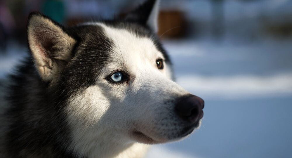 Un husky de Sibérie