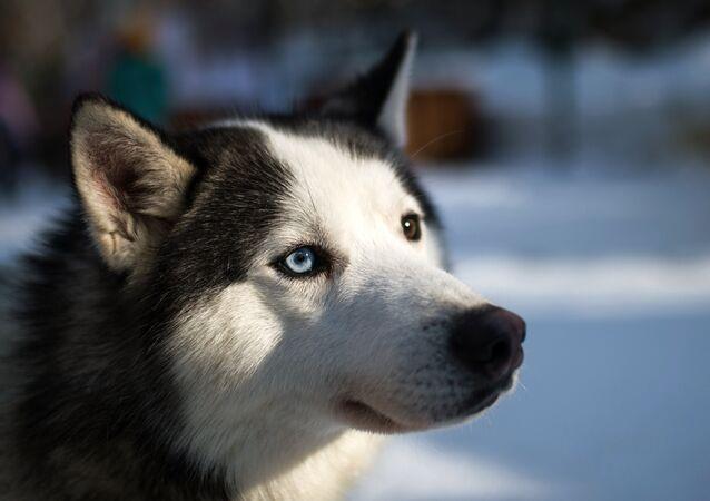 Un husky siberien