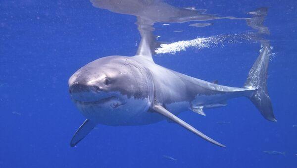 Great White Shark - Sputnik France