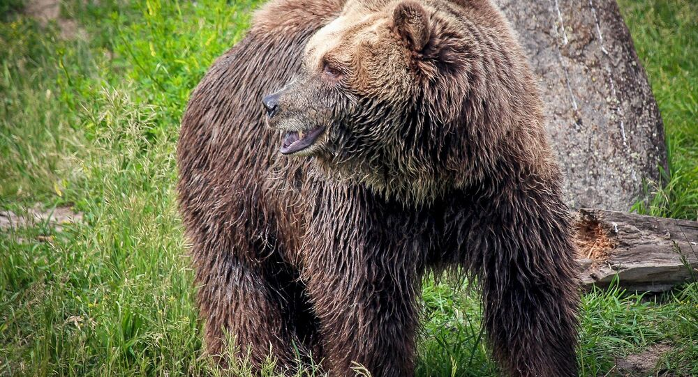 Un ours grizzli (image d'illustration)