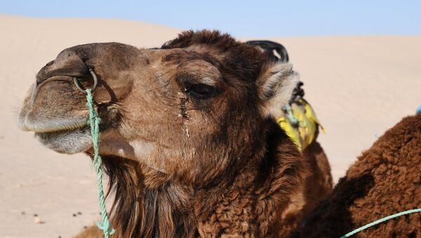 Un chameau - Sputnik France