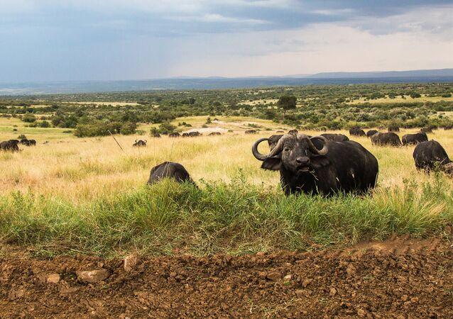 Des buffles en Afrique