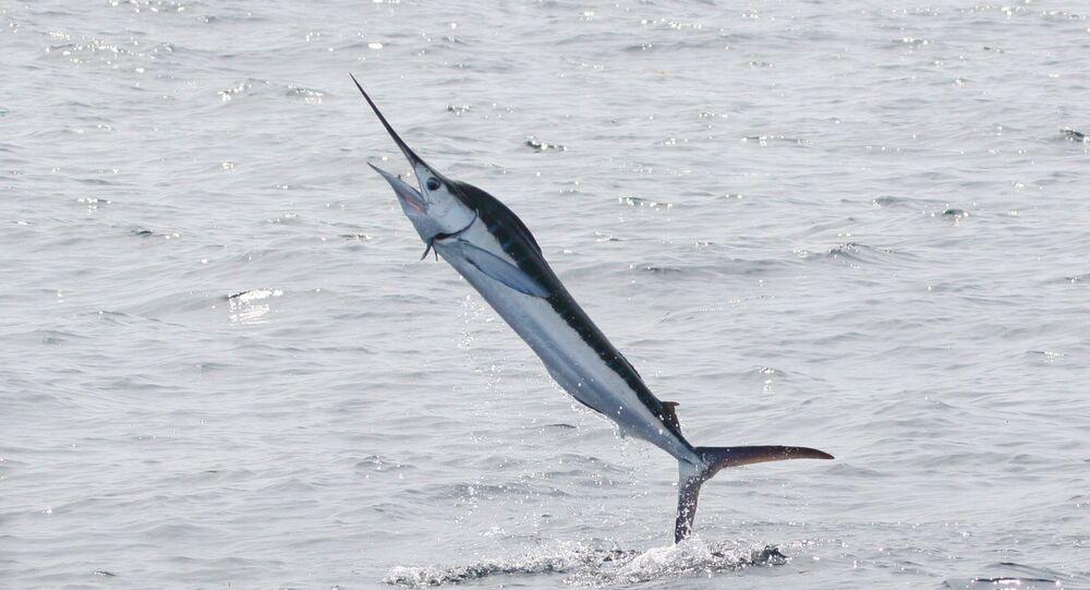 Un marlin