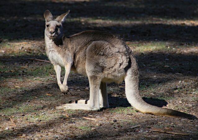 Un kangourou (image d'illustration)