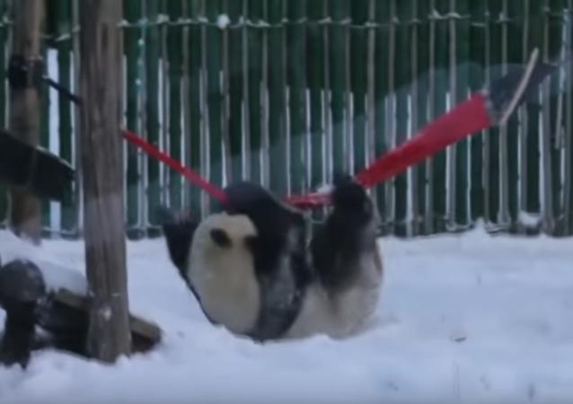 panda dans la neige